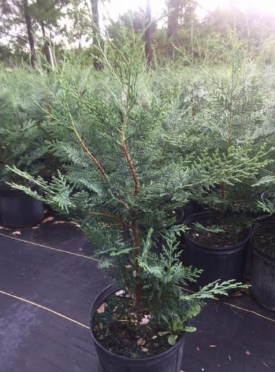 Murray Cypress, 3 gallon pots – 4 Minimum Order