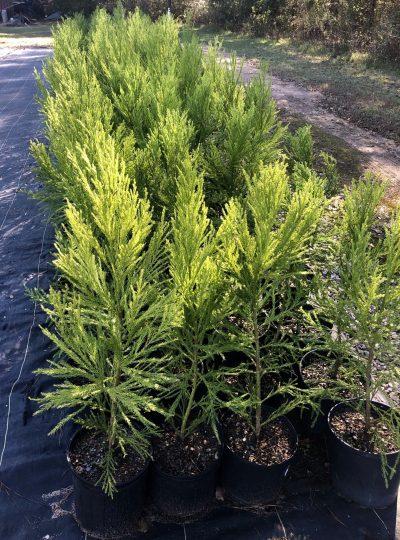 Cryptomeria Yoshino in 3 Gallon size – case of 4 trees