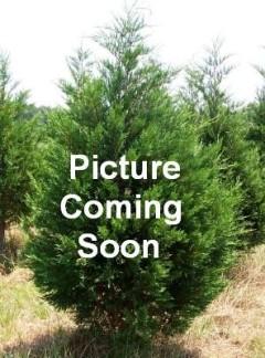 Leyland Cypress in 3 Gallon Size