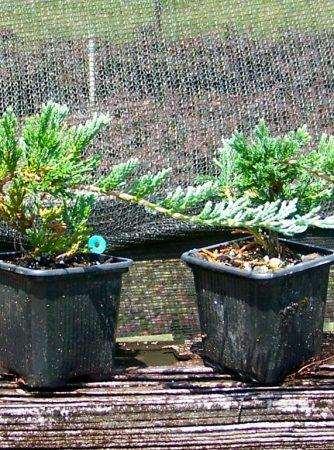 """Blue Rug Juniper, 2 1/2"""" pots"""