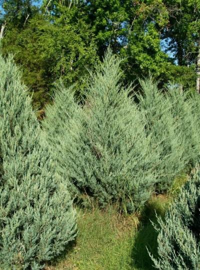 Burkii Red Cedar - Juniperous Virginiana 'Burkii'