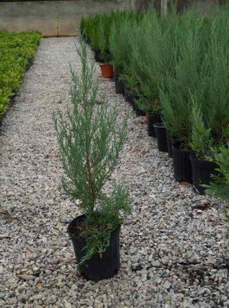 Burkii Red Cedar, 1-Gal pots - case of 10 trees