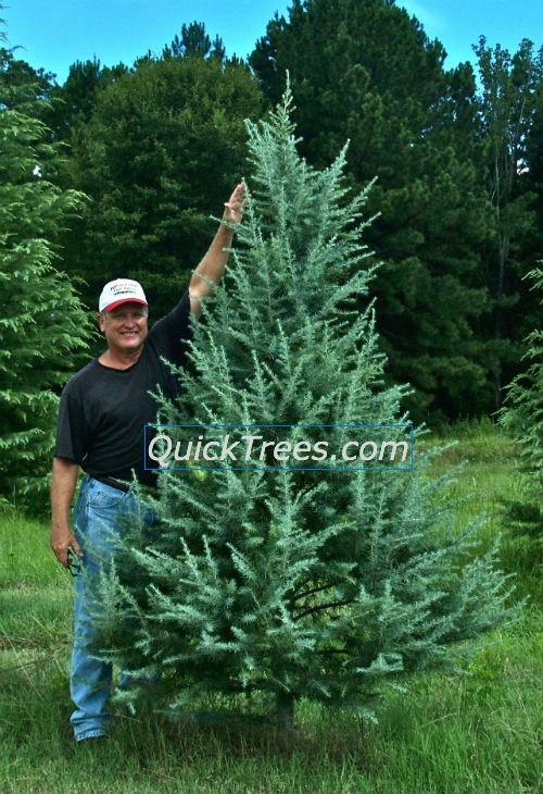 Deodar Cedar 'Electra' in pint pots – 10 Minimum Order – Quicktrees