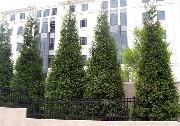 Thuja Green Giant Arborvitae (Thuja Plicata x Standishii.)