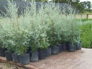 Carolina Sapphire 1 Gallon Pots