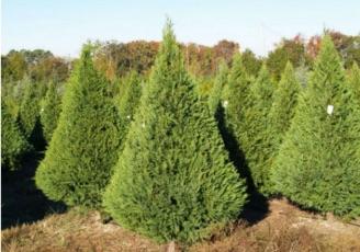 leyland-cypress-A