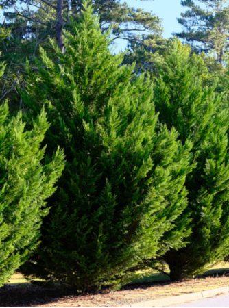 Leyland Cypress 1 Gallon Pots